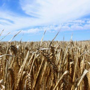 WTO seeks to resolve Australia-China row over barley